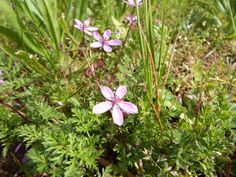 Lovely image of Common Storksbill from Carl Hawke spotted whilst at Clumber Park, Nottinghamshire 29 April 2014.