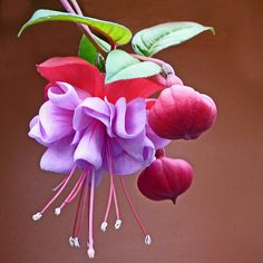 Fushia- got a hanging basket of these today, no bloomed yet. When they do, humming birds LOVE these! Can't wait!- K