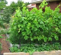The strawberries: 1. Create a living mulch ground cover which conserves moisture for the grapevine, limiting water loss by evaporation from the soil in summer. 2. Produce strawberries, which are edible It actually gets much complicated than that in my design. When we introduce a herbaceous layer, (we end up with three layers vertically, this is another Permaculture principle, that of Stacking) we add more element with multiple uses and they all act together in synergy. To one ... strawberri plant