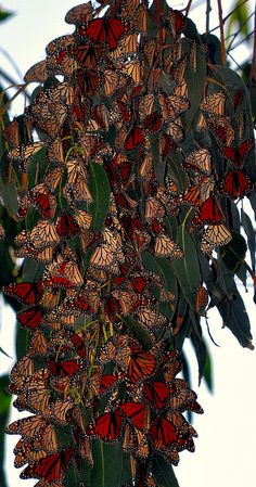 monarchs..