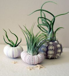 air plants, planted in urchins