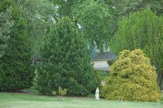 Pinus cembra – Swiss Stone Pine