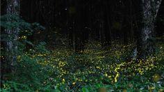 Long Exposures Of Fireflies