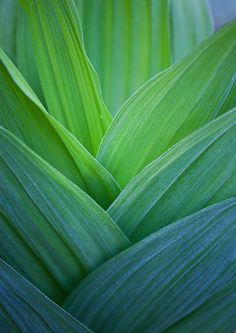 green corn lilies.