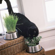 Catnip Cat Dish ... Humans aren't the only ones who enjoy herbs. Treat your cat by planting feline-friendly herbs in pet bowls. The no-slip bottoms will keep the containers in place when kitty comes nosing around. Use small stones etc in bottom 4 drainage.. Herbs for cats: catnip & lemongrass.