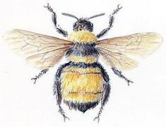 bumbl bee, sketch, bee nurseri, bee art, bumble bees