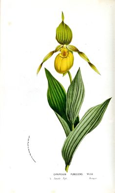 Botanical - Flower - Orchid - Lady slipper (2)
