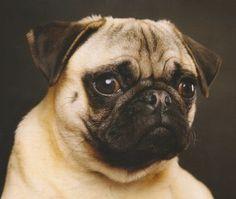 Color selection tips for pastel dog portrait painting from Colin Bradley. portrait paintings, pastel pencil, portrait draw, pugs, dog portraits, anim portrait