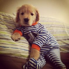 Golden retriever puppy in footy pajamas! Does it get any cuter than this? Omg! retriev puppi, footi pajama, golden retriever pajamas, puppies, anim, golden retrievers, puppi power, golden retriever puppy, ray charl