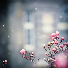 winter pink.