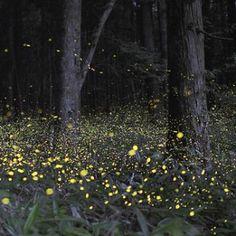 See the synchronized fireflies in gattlinburg, tn