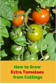 How to Grow Extra Tomato Plants from Cuttings. If you need someone to take care of your garden or if you want to be the one, please contact with us. Visit grandma4help.com #gardening #tips #nanny