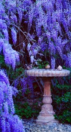 color, blue, outdoor, purpl, wisteria, beauti, garden, bird bath, flower