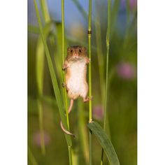 A harvest mouse balancing between two stalks of grass in Alsace, France by Jean-Louis Klein and Marie-Luce Hubert who spent one year photographing the adorable little creatures in a project that saw them released from captivity into the wild. via telegraph,co,uk #Harvest_Mouse
