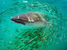 nation geograph, underwater photos, photographs, blue, national geographic, fish, whale shark, sharks, whales