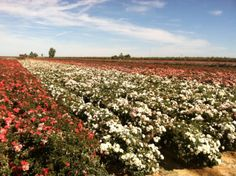 Read how we recently traveled to Wasco, CA to visit our rose fields in our latest blog entry!