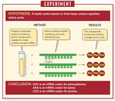 Deciphering the genetic code - Nirenberg and Matthaei used a test-tube protein synthesis system to determine the amino acids specified by synthetic mRNAs of known codon composition. (Nature Scitable)