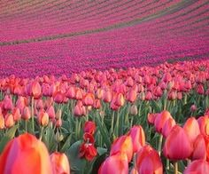 #Tulipe #pink