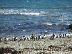 Check out our student's blog as she studied abroad in Chile  http://blogs.luc.edu/goglobal/uncategorized/fantastico-sur/  #Chile #Loyola #penguins #beach #StudyAbroad #GOGLOBAL