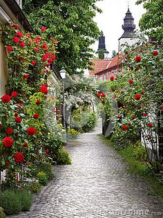 Wonderful alley of roses in the medieval town of Visby, Gottland, Sweden