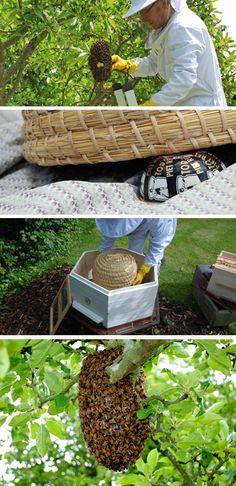 #beginner #beekeeping #swarms
