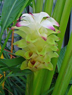 Turmeric flower , beautiful!