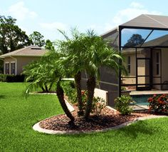 Landscaping ideas for around screened pool area-Multi Trunk Pygmy Date Palm