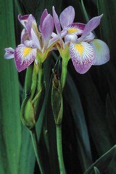 Wild Iris (Iris shrevei) : Prairie Nursery : Native Plants
