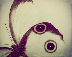 Owl Eyed Wing - Fine Art Butterfly Bug Photograph Print - Metallic (4x6) - Cream White and Brown with Yellow Gold and Black Circles Spots - nature - dreamt shabby chic