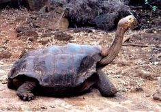 This Pinta Island Tortoise is the only one of its species left alive.  It is native to the Galapagos Isalnds. planets, turtl, symbols, rarest anim, charles darwin, island tortois, galapagos islands, the one, rare animals
