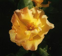 Morden Sunrise - Canadian roses