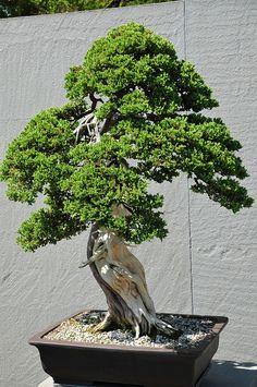 National Bonsai and Penjing Museum at National Arboretum Washington, DC