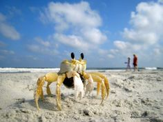 Crab on a beach in Hilton Head Island South Carolina Shadow, their dog would dig for little crabs, not hurting them.