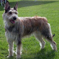 Berger de Picardie/Picardy Sheepdog France