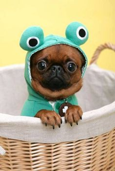 Pug in a frog costume<3