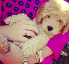 Mini Goldendoodle visited the Pink Palace this week