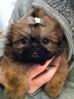 pekingese & poodle doggy= micro peekapoo