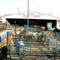 Understanding how livestock behavior relates to better handling methods | Hi-Hog  http://hi-hog.com/livestock-stress-and-the-senses/