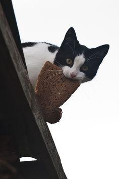 Toast cat!