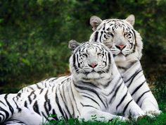 White tigers are so majestic