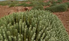 Euphorbia paradise by dadoobe, via Flickr