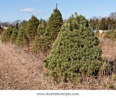 Ticonderoga Farms at Christmas, a Christmas Tree Forest