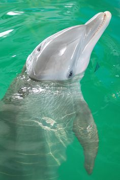 "Winter (The Star of ""Dolphin Tale"") Clearwater Marine Aquarium #FABFlorida"