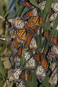 Monarch butterflies Morro Bay State Park - Google Search :)