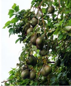 Fruit Trees | Avocados fruit trees.JPG