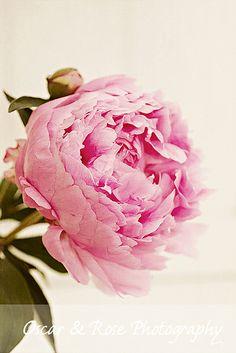 peony - favorite flower