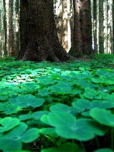 four leaf clover, forest