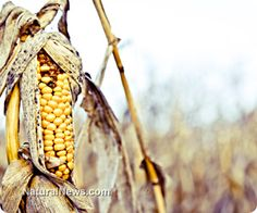 Mexico halts all GMO corn from being planted