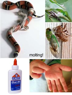 Use Elmer's glue to demonstrate exoskeleton and molting.