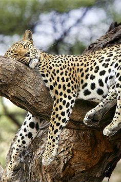 *Out for the Count - Cheetah